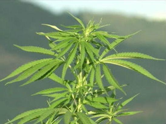 SZO predlaže brisanje kanabisa sa liste opasnih droga