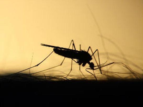 Komarci – i dosadni i potencijalno opasni