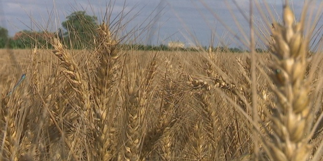 Bez zarade na pšenici ove godine