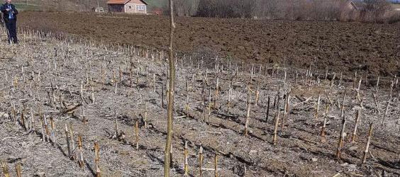 Krađa sadnica oraha u selu Šaljinovica kod Osojana
