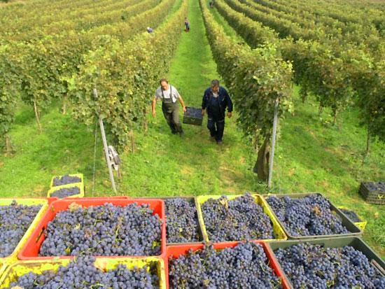 Hočanski vinogradari očekuju dobar rod