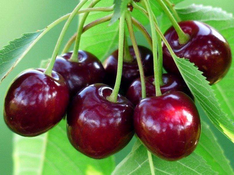 Srbija ponovo izvozi koštičavo voće u Rusiju