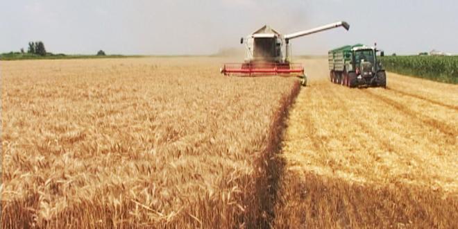 Pšenica rodila za petinu manje